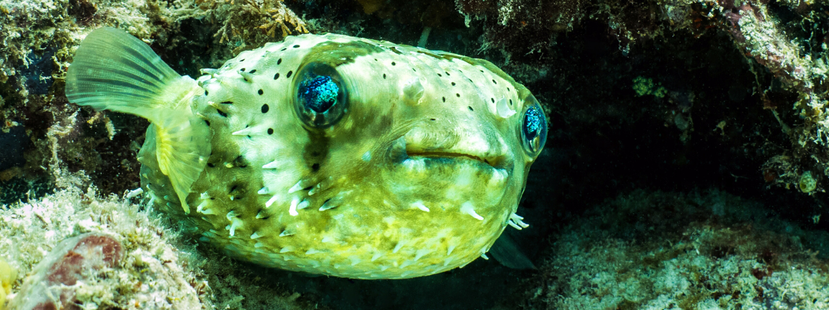 Puffer fish in coral