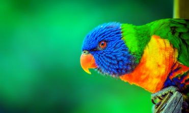 brightly colored lorikeet