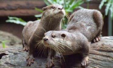 Two otters on a log