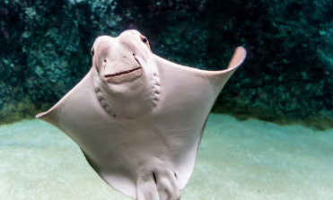 Cownose ray swimming toward water surface